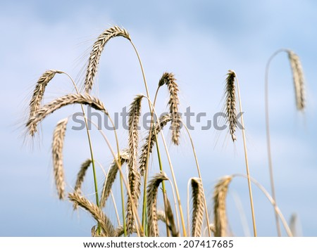 Barley field and blue sky / agriculture - stock photo
