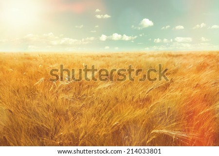 barley field and sunlight in summer - stock photo