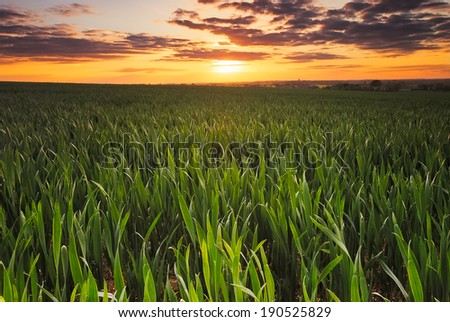Barley field at Sunset in England. - stock photo