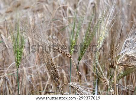 barley field close up - stock photo