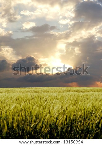 Barley field during stormy day - stock photo