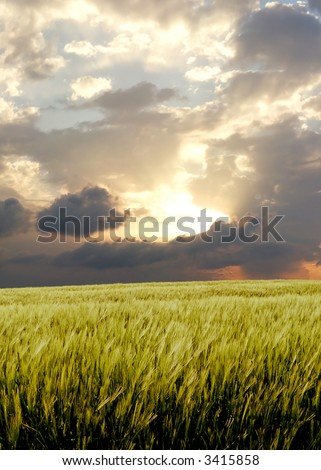 Barley field during stormy day