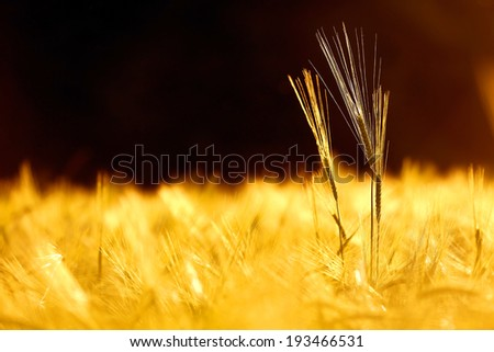 Barley field in golden glow of evening sun