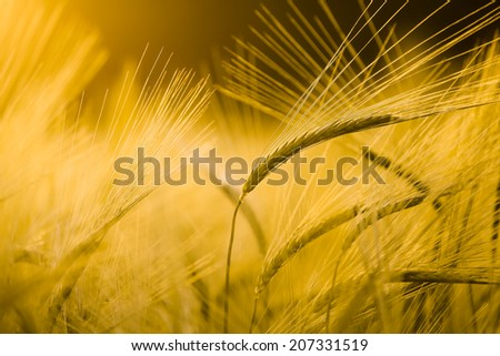 Barley field in golden glow of evening sun - stock photo