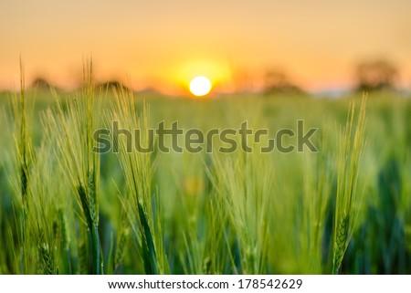 barley field in sunset - stock photo