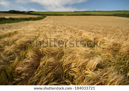 Barley field in the summer in East Cork in Ireland Europe - stock photo