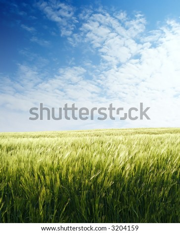 Barley field over blue sky in evening 3 - stock photo