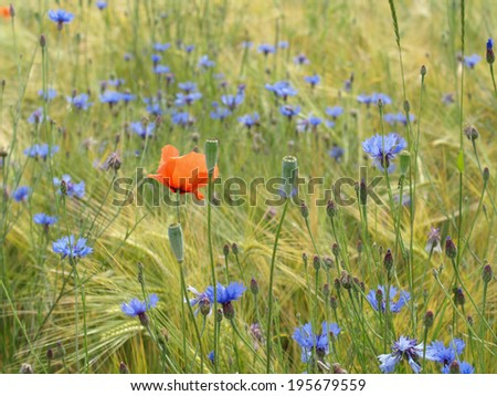 Barley field with cornflowers and corn poppy  - stock photo