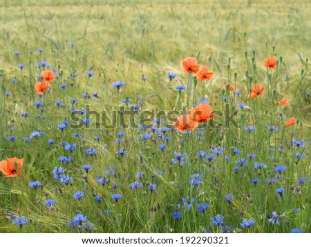 Barley field with cornflowers, corn poppy and german chamomile - stock photo