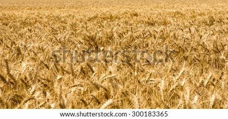 Barley field with many barley ears / Barley field - stock photo
