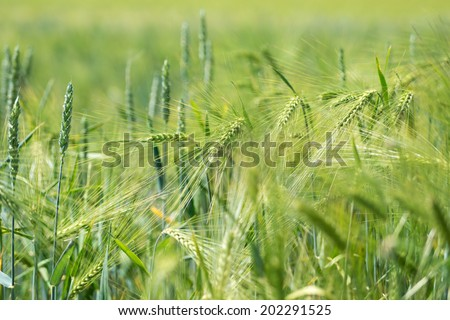 Barley field with young plants / Barley field - stock photo