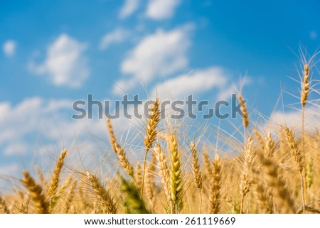 Barley Fields and blue sky - stock photo