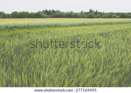 Barley grain wheat field - stock photo