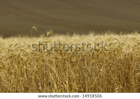 barley ready for harvest