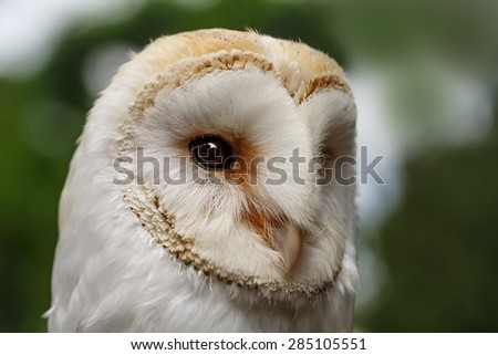 barn owl close up - stock photo
