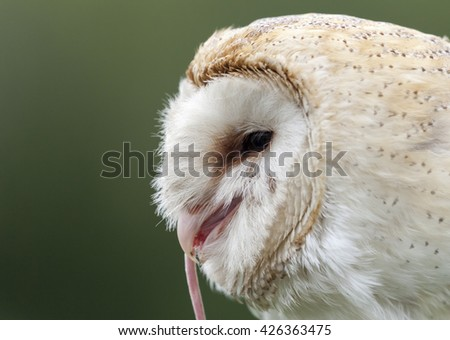 Barn Owl eating a mouse - stock photo