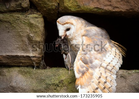 Owl Eating Stock Images, Royalty-Free Images & Vectors ...