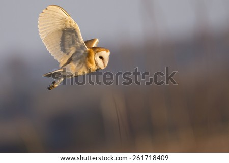 Barn Owl Hunting - stock photo