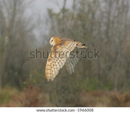 barn owl in flight - stock photo