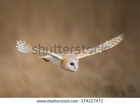 Barn owl in flight, clean background, Czech Republic - stock photo
