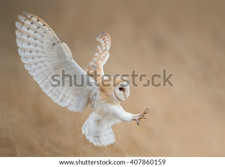 Barn owl in flight just before attack, with open wings, clean background, Czech Republic, Europe - stock photo