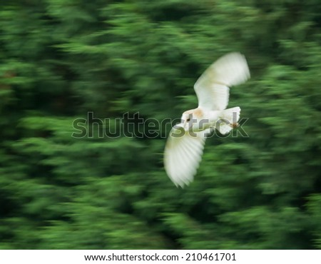 Barn Owl in flight with motion blur - stock photo