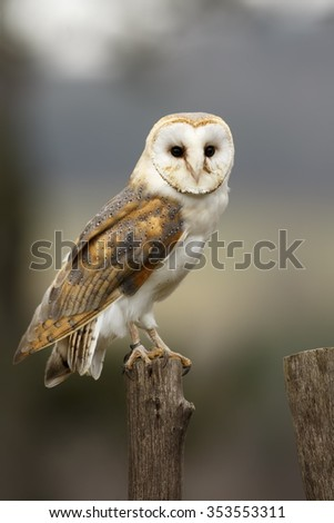 barn owl is sitting on the wooden stake in the fence