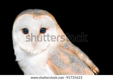 Barn owl - isolated on black background - stock photo