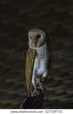 Barn Owl male and nature background.