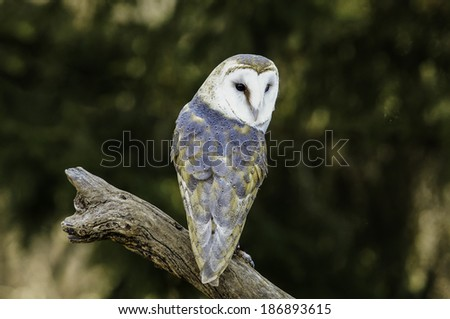 Barn Owl on a branch - stock photo