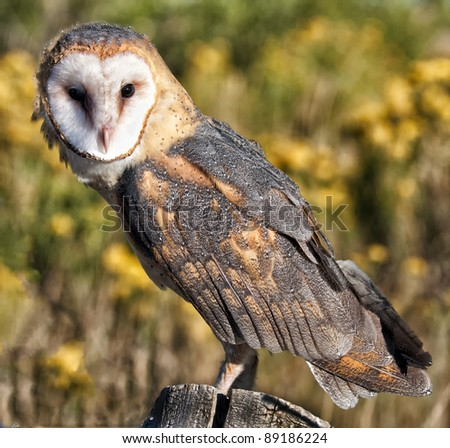 Barn owl on a stump in the middle of a field