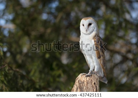 Barn Owl on a tree