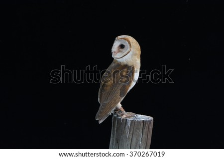 barn owl on post in black background - stock photo