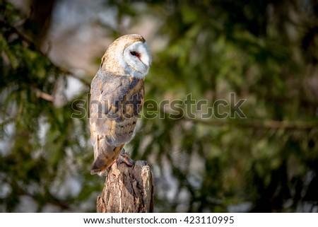 Barn owl on tree trunk  - stock photo