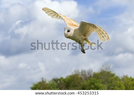 Barn Owl over the woods. A splendid barn owl has its talons dangling as it flies over some trees. - stock photo