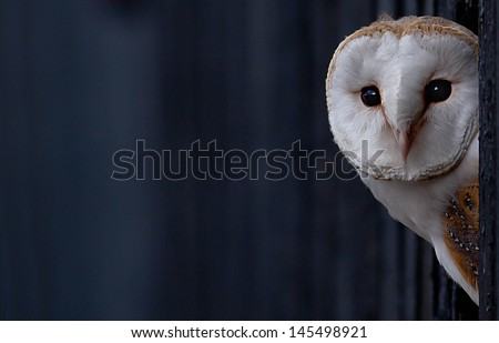 Barn Owl peering out - stock photo