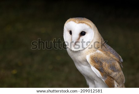 Barn Owl perched and watching - stock photo