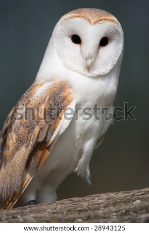 Barn Owl perched on a branch - stock photo