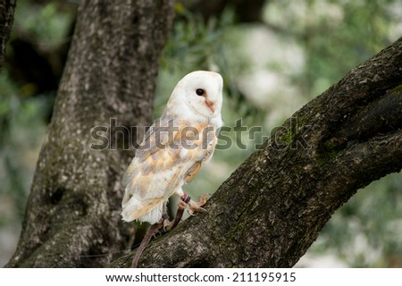 barn owl perched on a branch of a tree - stock photo