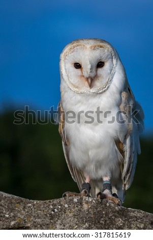 Barn Owl perched on a wall with blue sky background. - stock photo