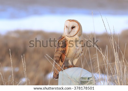 Barn Owl perched under sunset light - stock photo