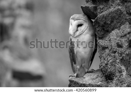 Barn owl sitting on a piece of masonry in black and white - stock photo