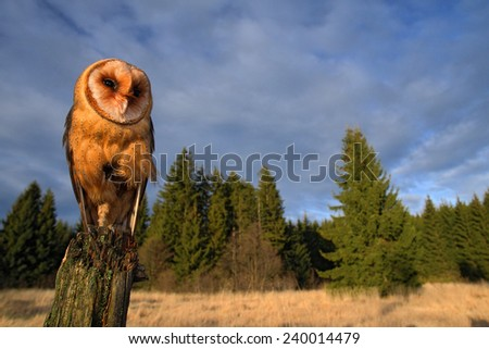 Barn owl sitting on the tree stump in forest at the evening - photo with wide lens including habitad - stock photo