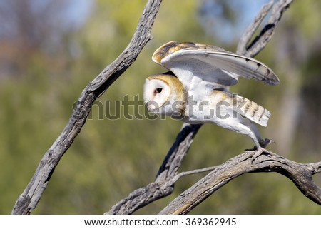 Barn owl taking off from a branch. - stock photo