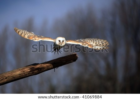 Barn Owl taking off from a log. - stock photo