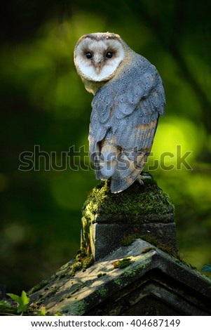 Barn owl, Tito alba, Nice bird sitting on stone fence in forest cemetery, nice blurred light green the background, animal in the habitat, United Kingdom  - stock photo