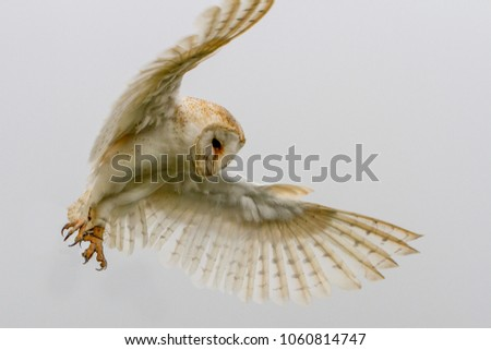 Barn Owl (Tyto Alba) flying portrait against white background, United Kingdom