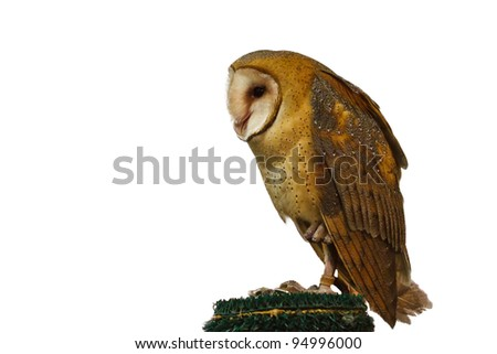 Barn Owl (Tyto alba) isolated on a white background