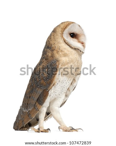 Barn Owl, Tyto alba, 4 months old, standing against white background - stock photo
