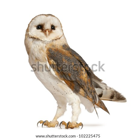 Barn Owl, Tyto alba, standing in front of white background - stock photo